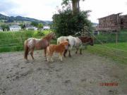 Verkaufe Mini-Ponys