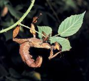 Wandelnde Blätter, Stabschrecken,