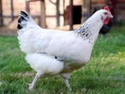 warzenenten vorsterenten sussexhühner