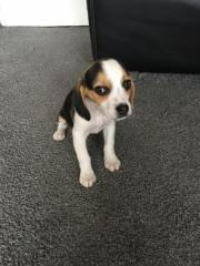 Welpe Beagle , 6.