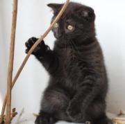 Wunderschöne Katzenbaby Scottish