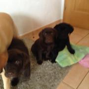 Wunderschöne schokobraune Labradorwelpen
