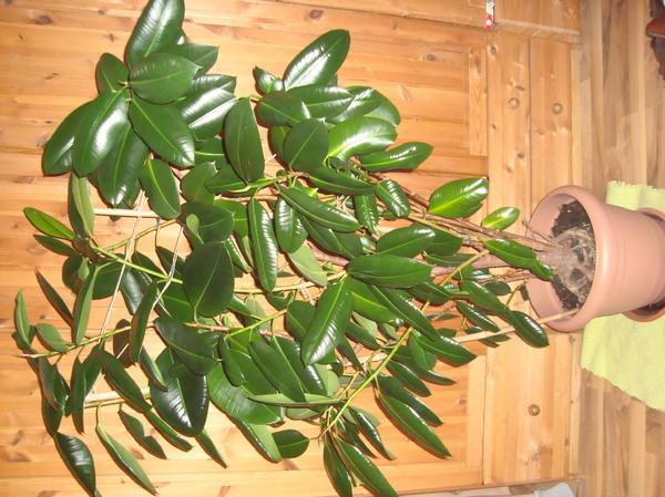 xxl pflanze gummibaum sucht neue entfaltungsm glichkeit in regensburg pflanzen kaufen und. Black Bedroom Furniture Sets. Home Design Ideas