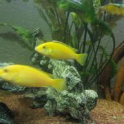 Yellow Weibchen