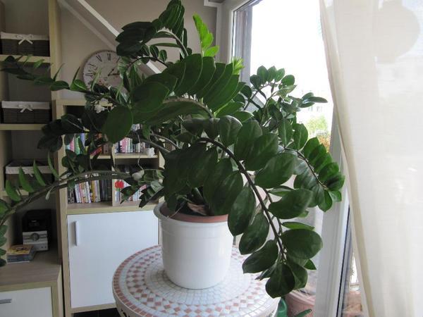 sch ne zamia zimmerpflanze mit bertopf an selbstabholer. Black Bedroom Furniture Sets. Home Design Ideas
