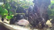 Zebrabuntbarsche + Jungfische