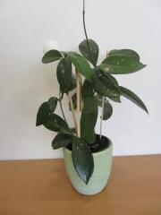 Zimmerpflanze Hoya carnosa,