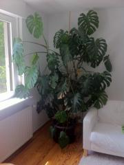 Zimmerpflanze, Philodendron ca. 250cm hoch, für Selbstabholer Unsere schöne Zimmerpflanze, ein Philodendron, ist mit ca. 250cm Höhe leider für unsere Wohnung ... 35,- D-76199Karlsruhe Rüppurr Heute, 16:28 Uhr, Karlsruhe Rüppurr - Zimmerpflanze, Philodendron ca. 250cm hoch, für Selbstabholer Unsere schöne Zimmerpflanze, ein Philodendron, ist mit ca. 250cm Höhe leider für unsere Wohnung