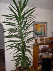 yucca in m nchen pflanzen garten g nstige angebote. Black Bedroom Furniture Sets. Home Design Ideas