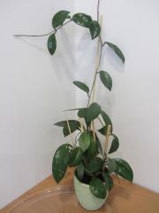 Zimmerpflanzen - Hoya, Begonie,
