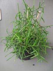Zimmerpflanzen - Sukkulenten - Kakteen