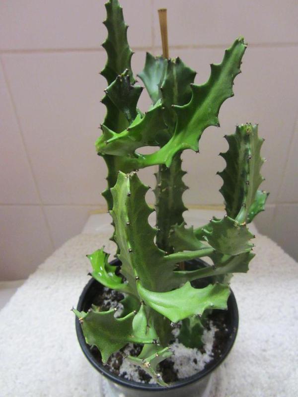 zimmerpflanzen weihnachtskaktus sukkulenten kakteen in m nchen pflanzen kaufen und. Black Bedroom Furniture Sets. Home Design Ideas