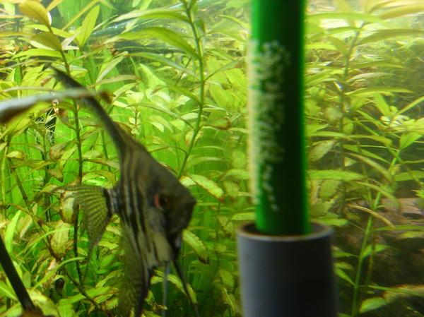 Skalare fische kleinanzeigen tiermarkt deine for Skalare zucht