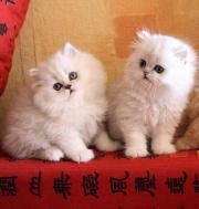 zuckersüße Perserbabys reinrassige