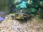 Zwei chinesische Streifenschildkröten