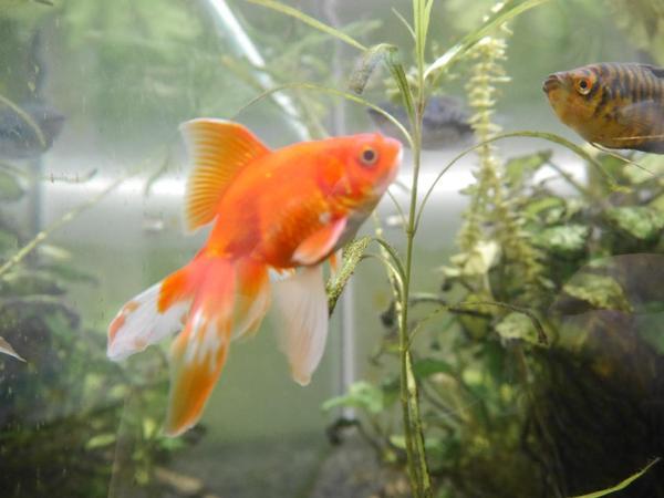 Zwei goldfische schleierschw nze abzugeben in m nchen for Fische goldfische