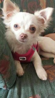 2 Chihuahua 7