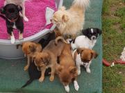 7 Chihuahua welpen