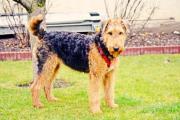 Airdale Terrier Hündin
