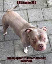 American Bully Champagner