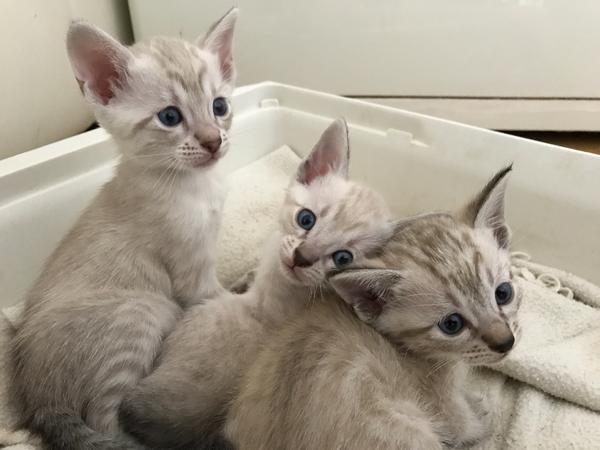 bengal siam kitten in hamm katzen kaufen. Black Bedroom Furniture Sets. Home Design Ideas