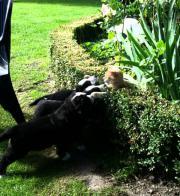 Berner Sennenhund Welpen /