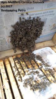 Bienen Ableger Carnica-