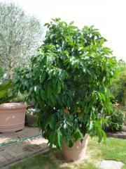 Bitterorangenbaum