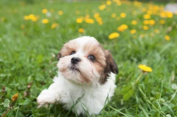 Bolonka Zwetna Welpen In Balingen Hunde Kaufen Und