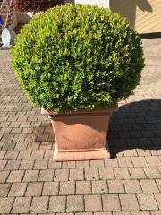 Buchsbaum kerngesund für
