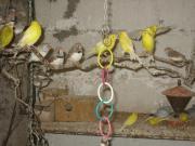 ca. 20 Kanarienvögel,