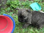 Cairn Terrier Welpe