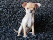 Chihuahua * Mini Hündin *