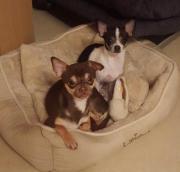 Chihuahua Päarchen