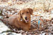 Deckrüde BERTI -- Labrador