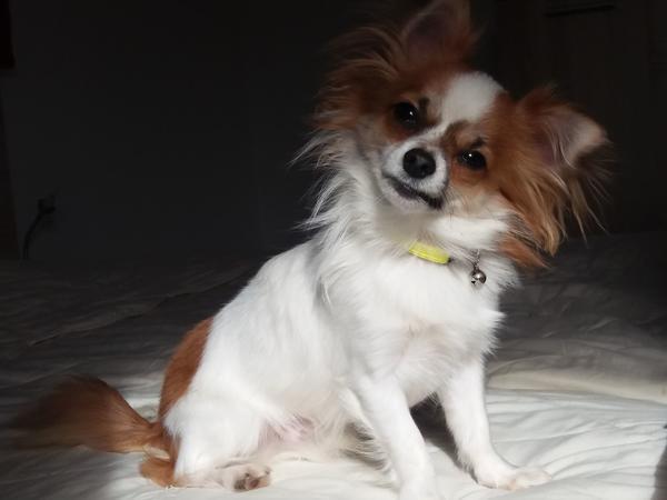 Deckrüde! Mini Chihuahua » Hunde