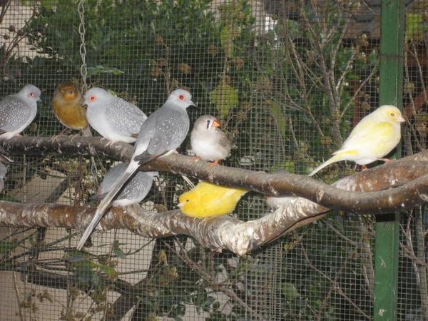 Diamanttauben kleine Ziertauben Vögel Tauben
