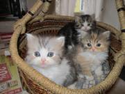 Edelmixbabys- Kätzchen abzugeben,