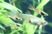 Endler Guppies, Poecilia