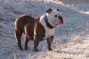 Englishe Bulldogg Welpen