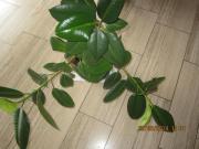 Fikus Pflanze