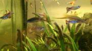 Fische Schwertträger rot