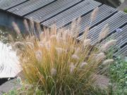 Garten-Hibiskus Physalis Bio-Kräuter Beeren Stauden