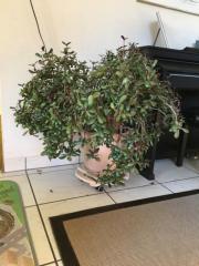 Geldbaum Zimmerpflanze