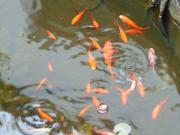 Goldfische für Gartenteich