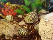 Griechische Landschildkröten -Testudo