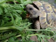 Griechische Landschildkröten, THB