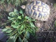 Griechische Landschildkröten Thb.