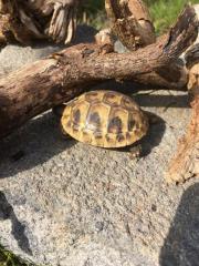 Griechische Landschildkröten und