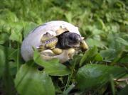 Griechische Landschildkrötenbabys, Nachzucht